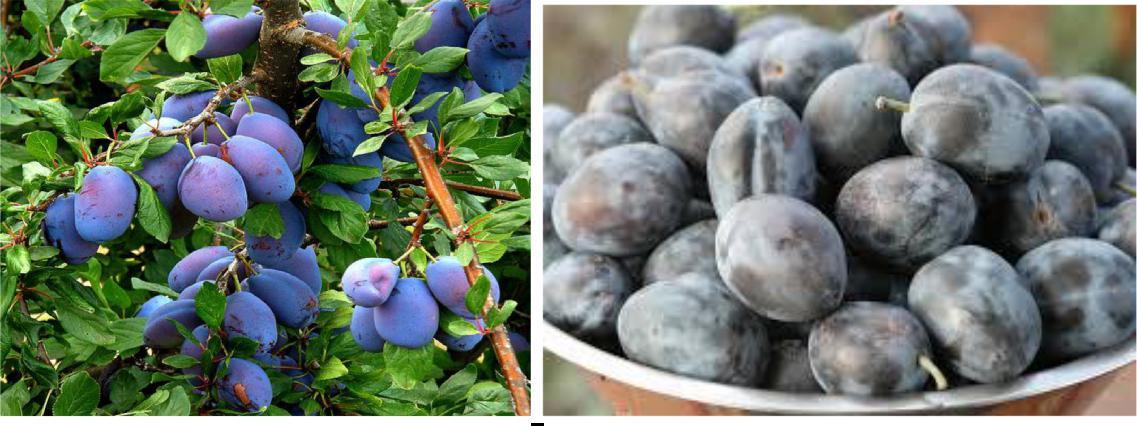 Beneficiile de prune pentru pierderea în greutate